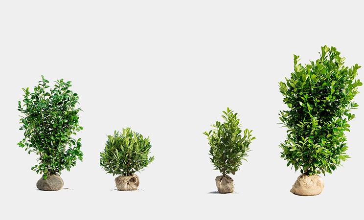 Lagerhägg Växtguide